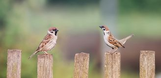 A couple of little birds sitting on an old wooden fence next to. Each other Royalty Free Stock Photo