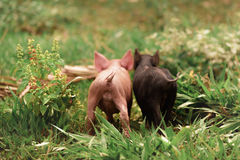 Couple Of Little Pigs Stock Photography