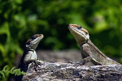Couple lizard on the stone Royalty Free Stock Image