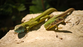 A couple of lizards Royalty Free Stock Images