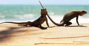 Couple of lizards Stock Photo