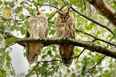 Couple Long eared Owls Stock Images