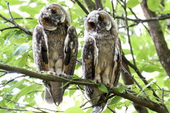 Couple of long eared owls tilting their heads. Sitting on a tree branch Stock Images