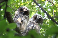 Couple of long eared owls Royalty Free Stock Photos