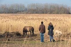Couple looking to konikhorse with foal in Dutch National Park. Man and woman looking to wild konik horse with foal in Dutch National Park Oostvaadersplassen stock photo