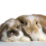 Couple of Lop Rabbit. In front of a white background Stock Photos