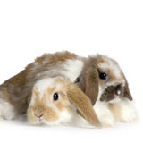 Couple of Lop Rabbit. In front of a white background Royalty Free Stock Photography