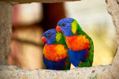 Couple of lories. Sitting together Stock Photography