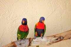 Couple of Lorikeet birds on branch Royalty Free Stock Photos