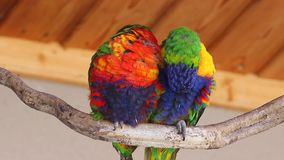 Couple of Lorikeet Sitting on A Branch. A pair of Loving Rainbow Lorikeet Couple Perched on the Tree Branch stock footage