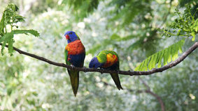 Couple of Lorikeets sitting on a branch Stock Photo