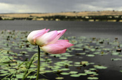 A couple of lotus in Vietnam Royalty Free Stock Images