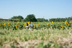 The couple in love in a field of sunflowers royalty free stock photography