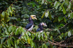 Couple of love of Oriental pied hornbill Royalty Free Stock Images