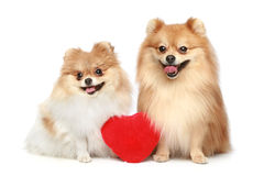 Couple in love Spitz puppies on white background Royalty Free Stock Image
