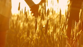 Couple in love at sunset in wheat. Holding hands