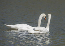 Couple in love swans Royalty Free Stock Photography