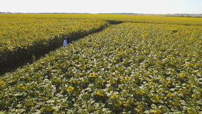Couple in love walking next to sunflower field on summer day. Aerial footage. stock footage