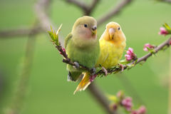 Couple of lovebird on a peach branch. A beautiful couple of lovebird parrot hanging oh a branch of peach trees with blossoms looking at each other with love and Royalty Free Stock Image