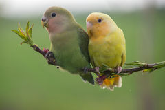 Couple of lovebird on a peach branch Royalty Free Stock Photography