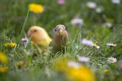 Couple of lovebird on a peach branch. A beautiful couple of lovebird parrot hin the middle of a meadow full of flowers eating grass and seeds, with wonderful Royalty Free Stock Images