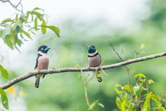 Couple lover of Black-and-yellow Broadbill Royalty Free Stock Photo