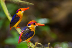 Couple lover of Dwarf Kingfisher Royalty Free Stock Photography
