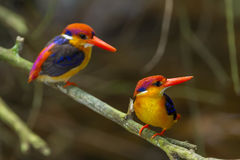 Couple lover of Dwarf Kingfisher Stock Image