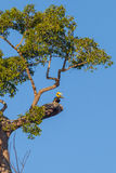 Couple of lover  Great hornbill Stock Photography