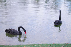 Couple of loving black swans. Are swimming on the lake. They symbolize faithfulness Royalty Free Stock Image