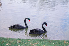 Couple of loving black swans. Are swimming on the lake. They symbolize faithfulness Royalty Free Stock Photography