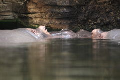 Couple of loving hippos Stock Image