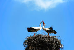 Couple of loving white storks Stock Image