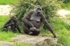 Couple of lowland gorillas Stock Photos