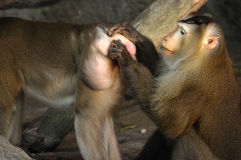 Couple of Macaca fascicularis, Animal action. Royalty Free Stock Images