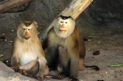 Couple of Macaca fascicularis Royalty Free Stock Photos