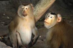 Couple of Macaca fascicularis Stock Images