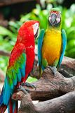 Couple macaw Royalty Free Stock Photography