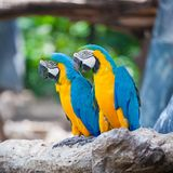 Couple macaw Stock Photography