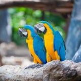 Couple macaw Stock Photography