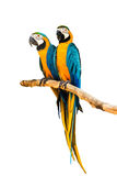 Couple Macaw Parrot. Stock Photos