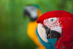 Couple of macaw parrots Stock Photography