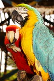 Couple of macaw parrots Stock Photos