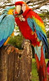Couple of macaw parrots Royalty Free Stock Photos