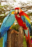 Couple of macaw parrots Stock Images