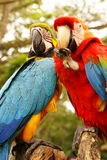 Couple of macaw parrots Royalty Free Stock Photo