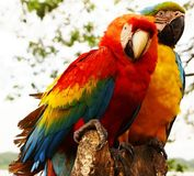 Couple of macaw parrots Royalty Free Stock Photography
