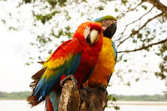 Couple of macaw parrots Royalty Free Stock Image