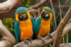 A Couple of Macaws Royalty Free Stock Photo