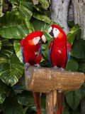 Couple of Macaws Stock Photo